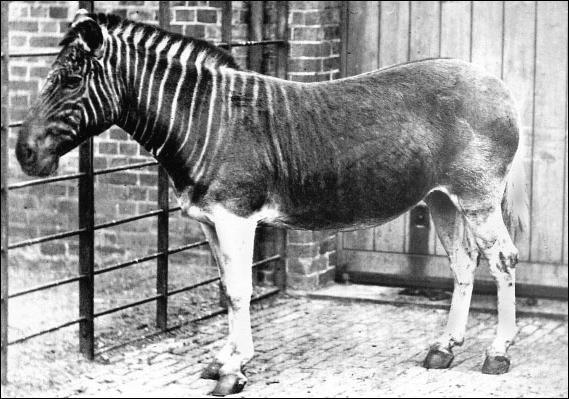 Ce drôle de zèbre a été exterminé à cause sa chair qui était consommée. Le dernier de cette espèce a été abattu en 1878 et sa sous-espèce s'éteignit. C'est...