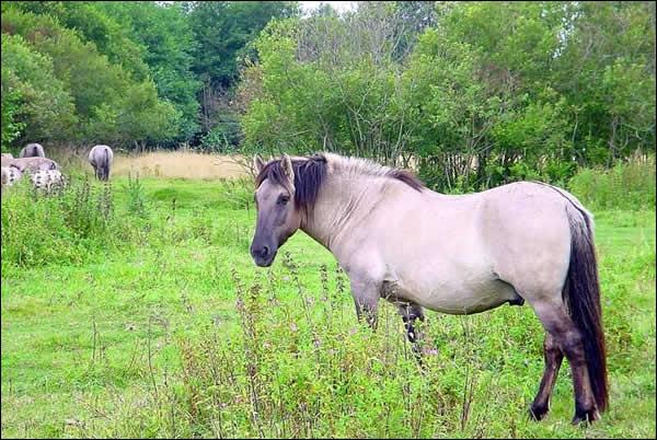 C'est l'ancêtre de la plupart de nos chevaux actuels. Le dernier spécimen meurt en 1887 à Munich. Mais on a réussi à reconstituer la race qui est appelée 'konik'. C'est...