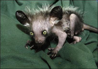 Cet animal est une espèce de primate qui vit à Madagascar. Il est menacé d'extinction à cause de la destruction de son habitat. Ce drôle d'animal s'appelle...