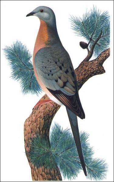 Cette espèce de pigeon est aujourd'hui éteinte. Elle a été décimée par les agriculteurs en moins d'une dizaine d'années. De quelle espèce s'agit-il ?