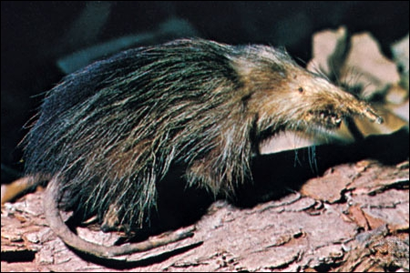 Avant, on considérait cette espèce de rat comme éteinte, mais quelques exemplaires ont été retrouvés. Ce sont de véritables 'fossiles vivants'. C'est...