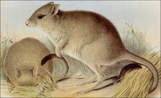 Autrefois ce petit marsupial occupait 60% du continent australien, mais maintenant il occupe 1% du continent. Il est nocturne et se nourrit de bulbes, de tubercules et de champignons. C'est...
