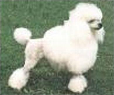 À quelle race appartient ce chien ?