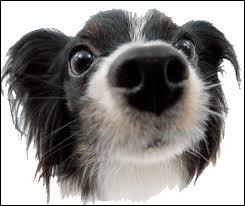 Les chiens ont les sens en éveil, mais lequel (parmi ceux proposés) est beaucoup plus développé chez les chiens que chez l'homme ?