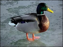 Comment dit-on 'canard' en anglais ?