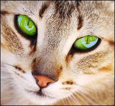 Chat brun à la queue très courte, sauvé par Coeur de Feu et Plume Grise de l'exil d'Étoile Brisée.