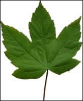 Quizz Les feuilles des arbres - Quiz Arbres, Photos