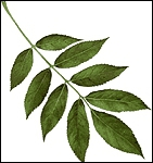 De quel arbre proviennent ces feuilles ?