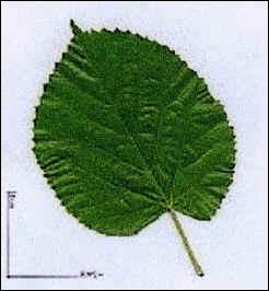 De quel arbre provient cette feuille ?