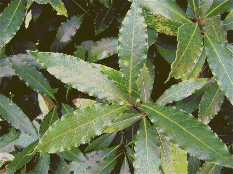 De quel arbuste proviennent ces feuilles ?