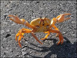 On trouve les coquilles de crabes devant son repère !