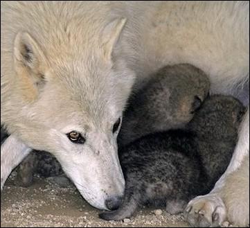 ... Mère Louve était étendue, ___ gros nez gris tombé parmi ___ quatre petits. '