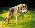 Comment s'appelle cette espèce de loup ?