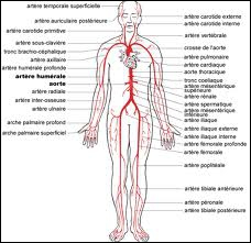 Savez-vous quelle est la plus grosse artère de notre corps ?