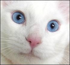 Comment sont les yeux de ce chat ?