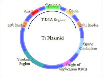 Le T-DNA est code notamment pour :