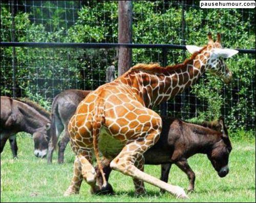 Quel est cet animal essayant de monter sur l'âne ?