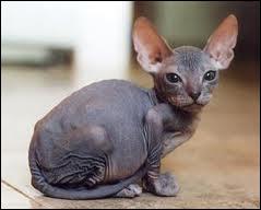 Ce chat au pelage ras et aux grandes oreilles, cest un