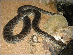 Quel est ce reptile ? (il vit principalement au Brésil et en Guyane)