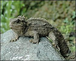 Quel est ce reptile ? (cette espèce existe depuis l'ère des dinosaures)