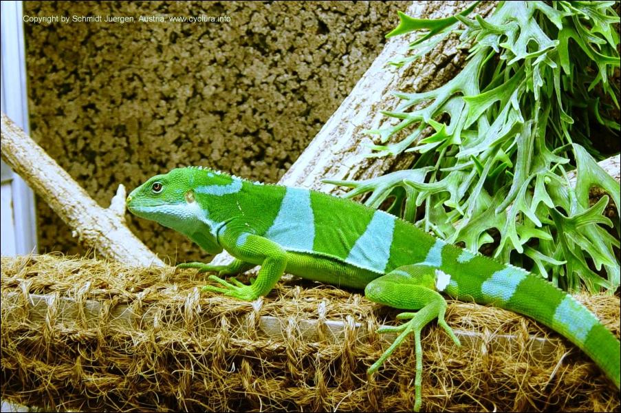 Quel est ce reptile ? (il est en danger d'extinction)