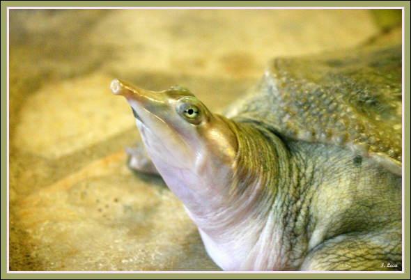 Quel est ce reptile ? (cette tortue possède une carapace molle)