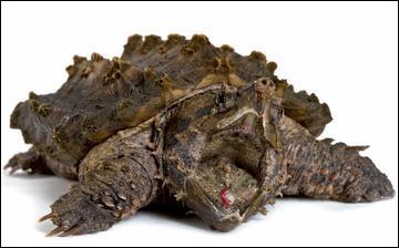 Quel est ce reptile ? (cette tortue est très dangereuse)