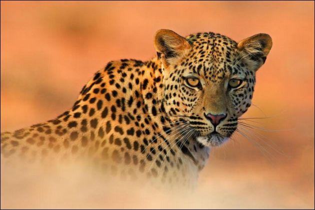Le léopard est également appelé panthère !