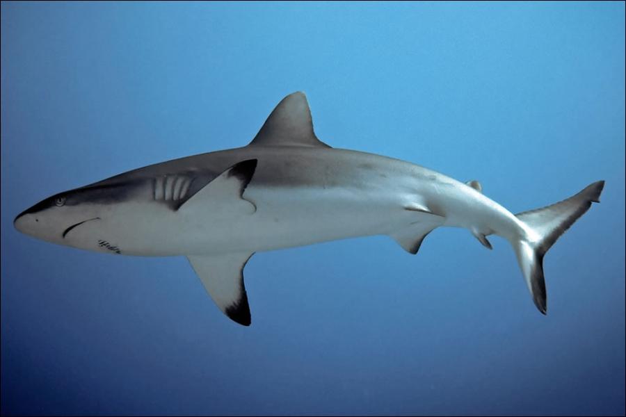 Les requins peuvent être ovipares et ...