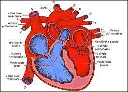 Le cœur...