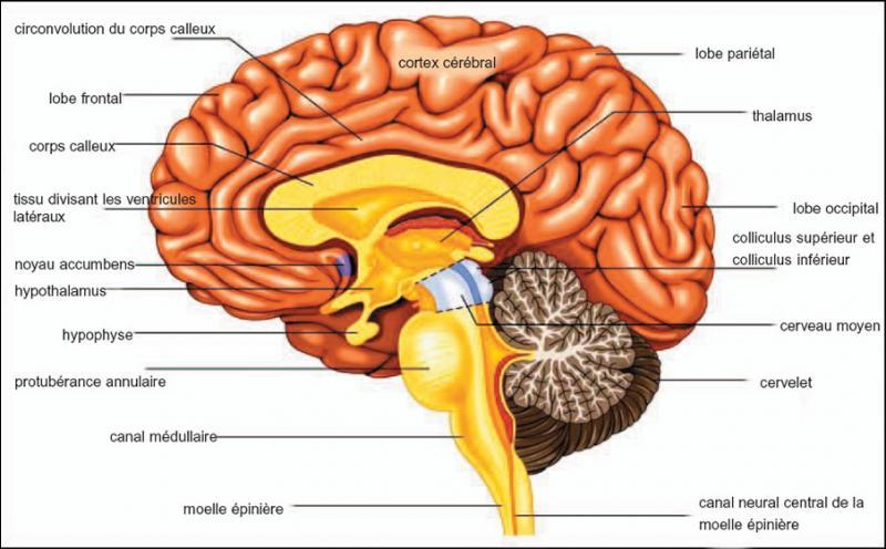 Le cerveau...