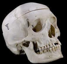 Le crâne...