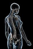 La colonne vertébrale est constituée de combien d'os au total ?