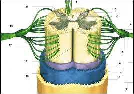 Quelle est la structure nerveuse protégée par la colonne vertébrale ?