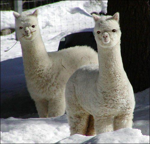 Ces deux animaux appartiennent à la famille des ...