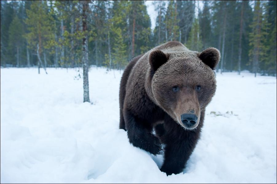 L'ours brun a une particularité !