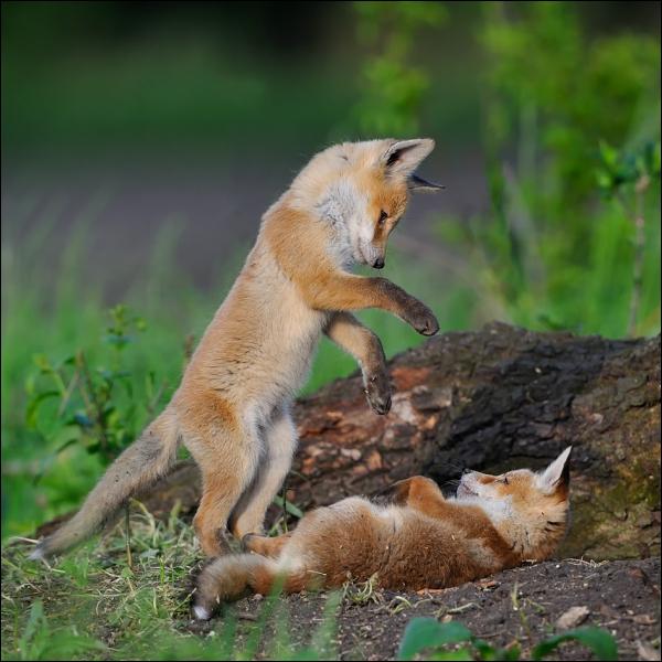 C'est la position typique du renard adulte en train de ...