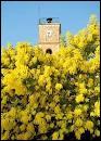 Après avoir été cherché des roses, je vais maintenant me rendre dans 'la capitale du mimosa'. De quelle commune s'agit-il ?