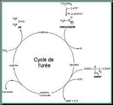 Complétez correctement : 'L'urée est un produit de déchets métaboliques synthétisé dans ... '