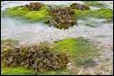 Quel nom porte cette algue brune, abondante sur les côtes rocheuses ?
