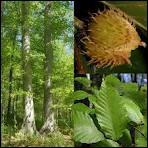 Quel est le nom de cet arbre, de nos régions tempérées, qui porte des faines ?