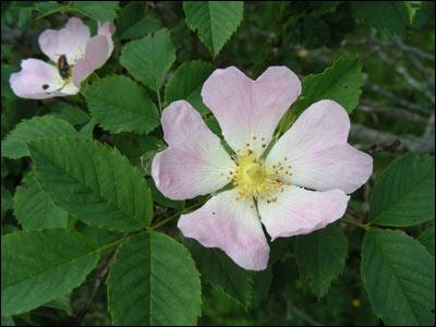 Quelle est cette fleur nommée rosier des chiens ?