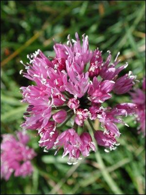 Reconnaissez-vous cette fleur sauvage ?