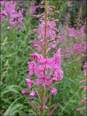 Quelle est cette fleur qui orne les montagnes au mois d'aôut ?