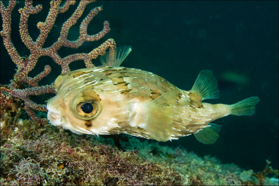 En cas d'attaque, ce petit poisson se remplit d'eau et devient intouchable.