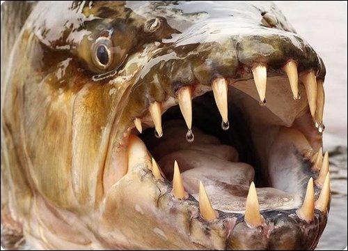 Ce poisson, à l'apparence d'un félin, a de très grandes dents, plus de 3, 5 cm.