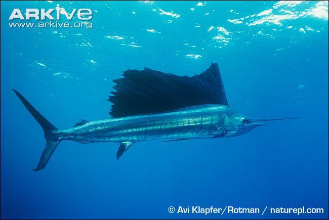 Ce poisson des océans Indien et Pacifique est d'une rapidité incroyable, plus de 110 km/h.