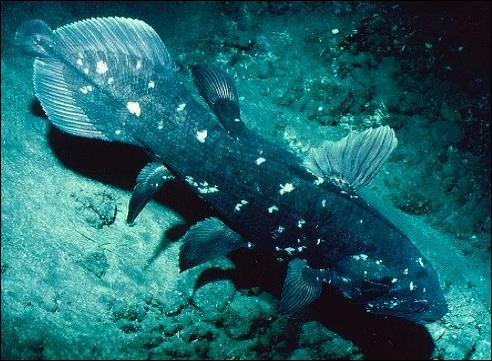 Ce poisson a été redécouvert récemment (en 1938 ). Il est considéré comme un fossile vivant.