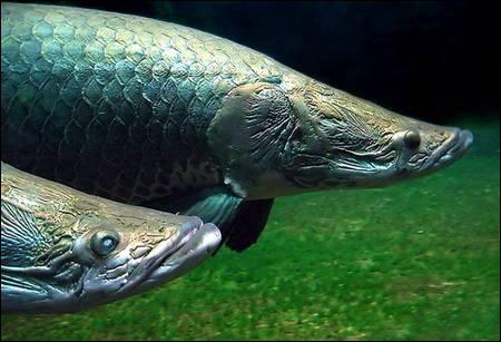 C'est le poisson d'eau douce le plus grand jamais découvert, vivant dans l'Amazone.