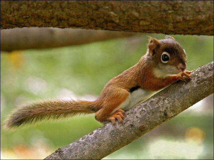 Il grimpe facilement aux arbres, c'est :